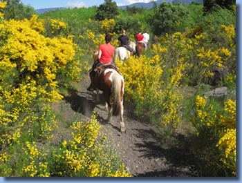 Riders between flowering broom in spring on a half day ride in Pucon, Chile